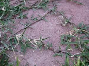 Bermuda tendrils on lawn borders/Ryn Gargulinski