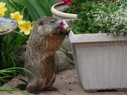 Vegetarian rodent/Photo Marcy Gargulinski